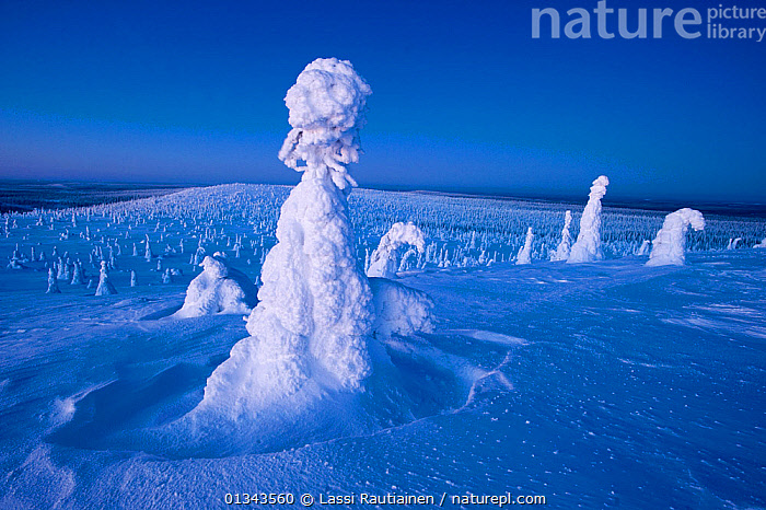 Conifer trees laden with snow in winter landscape, Kuusamo, northern Finland, February 2009  ,  BLUE,blue sky,catalogue4,COLD,conifer tree,CONIFEROUS,EUROPE,Finland,Kuusamo,landscape,LANDSCAPES,nature,Nobody,Scenic,shapes,SKY,SNOW,Tree,TREES,WHITE,WINTER,Scandinavia,PLANTS  ,  Lassi Rautiainen