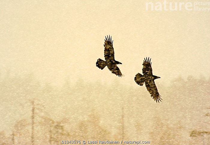 Two Common ravens (Corvus corax) in flight through snow, Finland, April  ,  adverse conditions,BIRDS,Blizzard,catalogue4,corvidae,CORVIDS,CROWS,EUROPE,Finland,flight,FLYING,Following,Nobody,on the move,RAVENS,resilience,rural,SILHOUETTES,SNOW,snowing,two,two animals,VERTEBRATES,WILDLIFE,WINTER,woodland,WOODLANDS,Scandinavia  ,  Lassi Rautiainen