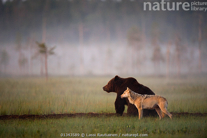 Brown bear (Ursus arctos) and Grey wolf (Canis lupus) together in wetlands, Kuhmo, Finland, July  ,  BEARS,Canidae,canis lupus,CARNIVORES,catalogue4,Finland,FRIENDSHIP,full length,grey wolf,INTERESTING,Kuhmo,MAMMALS,mixed species,MIXED SPECIES,Nobody,side by side,side view,STANDING,Togetherness,two,two animals,unusual,VERTEBRATES,watchful,WETLANDS,WILDLIFE,WOLVES,Scandinavia,Europe,Concepts  ,  Lassi Rautiainen