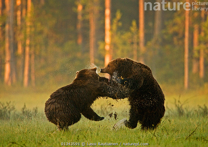 Two Brown bears (Ursus arctos) fighting in woodland wetlands, Kuhmo, Finland, July  ,  AGGRESSION,BEARS,BEHAVIOUR,CARNIVORES,catalogue4,EUROPE,fierce,FIGHTING,Finland,full length,FUR,hind legs,JUMPING,Kuhmo,MAMMALS,Nobody,side view,snarling,splashing,STANDING,sunlight,two,two animals,VERTEBRATES,WATER,wet,WETLANDS,WILDLIFE,woodland,WOODLANDS,Scandinavia  ,  Lassi Rautiainen