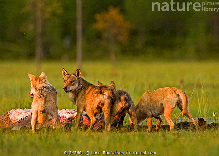 Pack of Grey wolves (Canis lupus) feeding at carcass, Kuhmo, Finland, July  ,  BEHAVIOUR,CANIDAE,CANIDS,CARNIVORES,EUROPE,FEEDING,FINLAND,GROUPS,MAMMALS,VERTEBRATES,WETLANDS,WOLVES,WOODLANDS,Scandinavia,Dogs  ,  Lassi Rautiainen