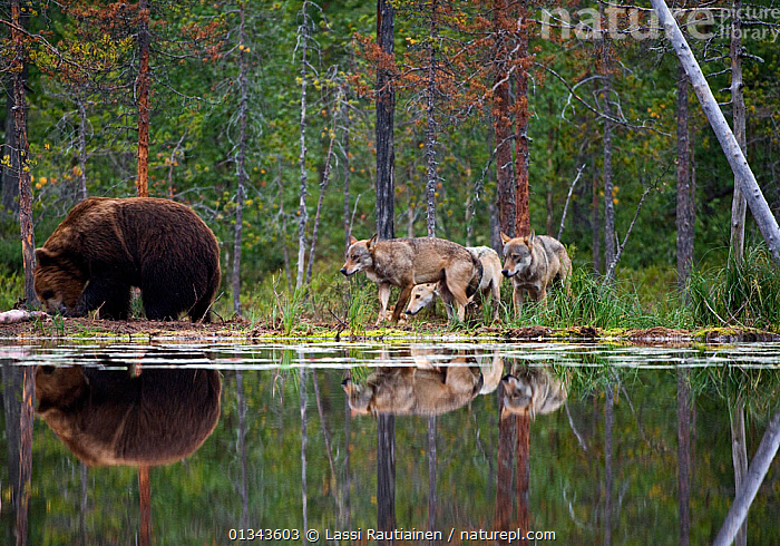 Brown bear (Ursus arctos) and pack of Grey wolves (Canis lupus) beside water in woodland wetlands, Kuhmo, Finland, July  ,  BEARS,CANIDAE,CARNIVORES,EUROPE,FINLAND,GROUPS,INTERACTION,MAMMALS,MIXED SPECIES,REFLECTIONS,URSIDAE,VERTEBRATES,WATER,WETLANDS,WOLF,WOODLANDS,Scandinavia  ,  Lassi Rautiainen