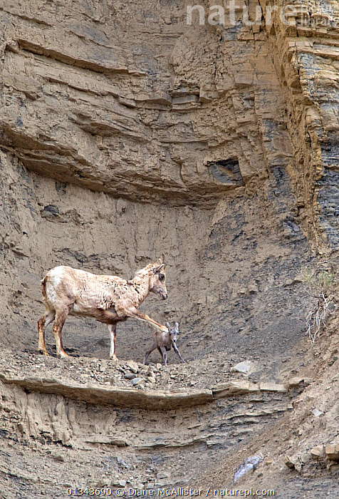 Female Rocky Mountain bighorn sheep ewe (Ovis canadensis canadensis) warning her newborn lamb that a rocky ledge is too close and dangerous. She places her front hoof on the baby's back, stopping it from moving and pulling it back in. USA, May, AFFECTIONATE,animals in the wild,ARTIODACTYLA,BABIES,BEHAVIOUR,BOVIDS,catalogue4,cliff face,CLIFFS,close up,danger,DANGEROUS,female animal,lamb,lambs,LEARNING,ledge,MAMMALS,MOTHER BABY,motherhood,newborn,Nobody,NORTH AMERICA,PARENTAL,protection,ROCKS,Rocky,SHEEP,teaching,two animals,USA,VERTEBRATES,VERTICAL,WILDLIFE,young animal,Geology,Goats,Antelopes, Diane McAllister