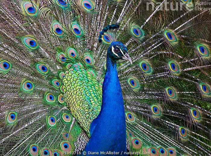Peacock, a male Peafowl (Pavo cristatus) displaying. Kona, Hawaii, USA, April, BIRDS,BLUE,COLOURFUL,COURTSHIP,DISPLAY,FEATHERS,GALLIFORMES,GREEN,MALES,NORTH AMERICA,PEACOCK,TAILS,USA,VERTEBRATES,Communication, Diane McAllister