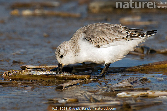 Sanderling (Calidris alba) feeding on razor shell. Norfolk, UK, October.  ,  BEHAVIOUR,BIRDS,EUROPE,FEEDING,MOLLUSCS,SANDPIPERS,UK,VERTEBRATES,WADERS,Invertebrates,United Kingdom  ,  Andy Sands