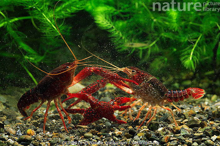 Red / Louisianna swamp crayfish (Procambarus / Scapulicambarus clarkii) two males fighting, Fukuoka, Japan, March  ,  AGGRESSION,ARTHROPODS,ASIA,CAMBARIDAE,CRAWFISH,CRAYFISH,CRUSTACEANS,FIGHTING,FRESHWATER,INVERTEBRATES,JAPAN,MALES,RED,TEMPERATE,TWO,UNDERWATER  ,  Nature Production