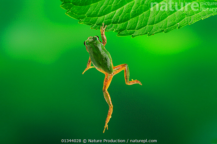 Japanese tree frog (Hyla japonica) climbing up onto hydrangea leaf, Fukuoka, Japan, August, sequence 1/3  ,  AMPHIBIANS,ANURA,ASIA,CLIMBING,FALLING,FROGS,GREEN,HYLIDAE,JAPAN,LEAVES,MOVEMENT,SEQUENCE,TREE FROGS,VERTEBRATES,VERTICAL  ,  Nature Production