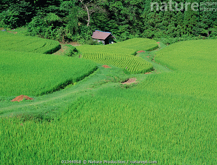 Aerial view of rice paddy fields (Oryza sativa) fixed-point observation of seasonal changes, summer, Shiga, Japan, early August, sequence 4/8  ,  AERIALS,AGRICULTURE,ASIA,CROPS,GREEN,JAPAN,LANDSCAPES,PADDIES,RICE,SEASONS,SEQUENCE,SUMMER,TERRACES  ,  Nature Production