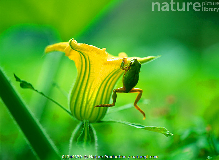 Japanese tree frog (Hyla japonica) hanging from Pumpkin flower, Japan  ,  AMPHIBIANS,ANURA,ASIA,BEHAVIOUR,FLOWERS,FROGS,GREEN,HYLIDAE,JAPAN,TREE FROGS,VERTEBRATES,YELLOW  ,  Nature Production