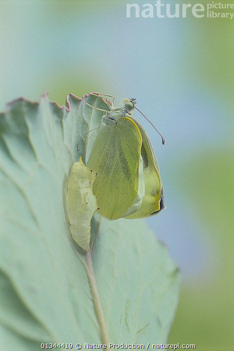 Small white butterfly (Pieris rapae crucivora) adult emerging from pupa, pupation sequence 8/9, Japan  ,  ARTHROPODS,ASIA,BUTTERFLIES,CABBAGE WHITE,CHRYSALIS,EMERGING,GREEN,INSECTS,INVERTEBRATES,JAPAN,LEPIDOPTERA,METAMORPHOSIS,PESTS,PUPAE,VERTICAL,Growth,Concepts  ,  Nature Production