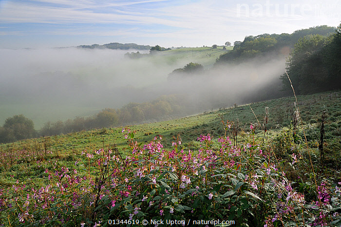 Himalayan Balsam (Impatiens glandulifera) clump flowering on pastureland in autumn, with mist in the valley below. Wiltshire, UK, September 2010.  ,  COUNTRYSIDE,DICOTYLEDONS,EUROPE,FIELDS,FLOWERS,GERANIACEAE,INTRODUCED,LANDSCAPES,MIST,PLANTS,UK,United Kingdom  ,  Nick Upton