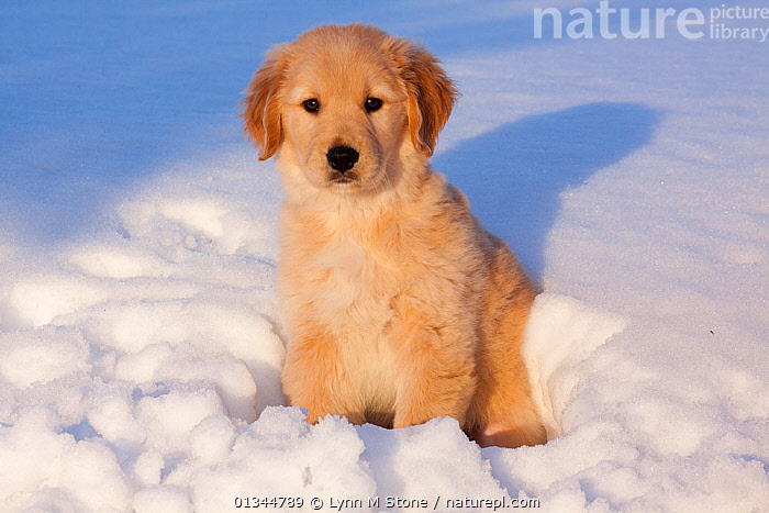 Golden Retriever puppy sitting in snow in late afternoon. Big Rock, Illinois, USA, February., animal portrait,Big Rock,catalogue4,close up,CUTE,DOGS,golden retiever,gundogs,Illinois,large dogs,looking at camera,lost,Nobody,NORTH AMERICA,one animal,outdoors,PETS,PORTRAITS,puppies,puppy,sadness,SITTING,SNOW,sunlight,USA,VERTEBRATES,WINTER,YOUNG,young animal,Canids, Lynn M Stone