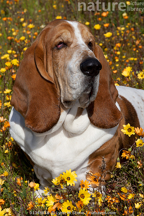 Portrait of a Basset Hound male lying in flowers. Goleta, California, USA, February., BROWN,CALIFORNIA,CUTE,DOGS,EARS,EXPRESSIONS,FACES,FLOWERS,HEADS,HOUNDS,MEDIUM DOGS,NORTH AMERICA,OUTDOORS,PETS,PORTRAITS,SAD,USA,VERTEBRATES,VERTICAL,WHITE,Concepts,Canids, Lynn M Stone