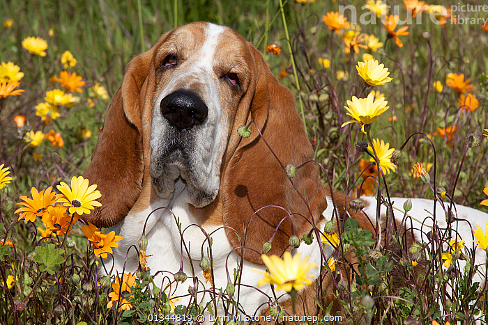 Portrait of Basset Hound male lying in a patch of flowers. Goleta, California, USA, February., BROWN,CALIFORNIA,CUTE,DOGS,EARS,FLOWERS,HOUNDS,MEDIUM DOGS,NORTH AMERICA,OUTDOORS,PETS,PORTRAITS,SAD,USA,VERTEBRATES,WHITE,Concepts,Canids, Lynn M Stone