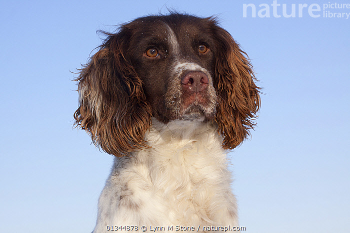 Nature Picture Library - Portrait of English Springer
