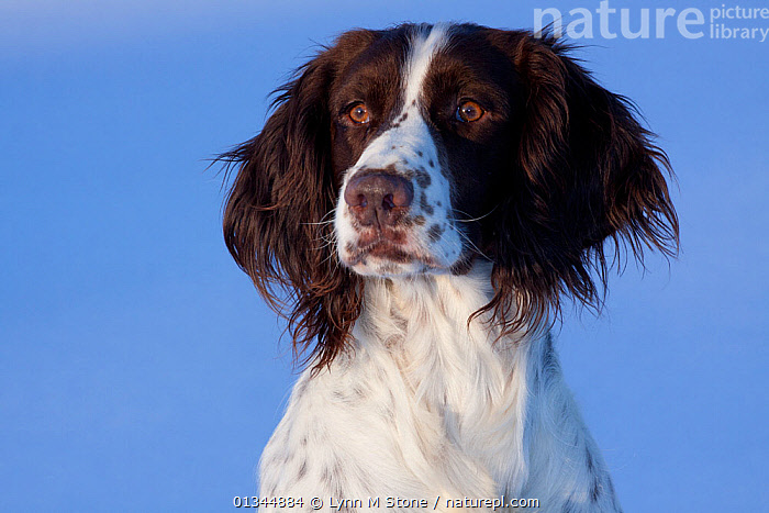 Portrait of English Springer Spaniel (field type). Elkhorn, Wisconsin, USA, January.  ,  animal head,animal portrait,anxiety,BROWN,catalogue4,close up,concern,DOGS,elkhorn,EXPRESSIONS,FACES,facial expression,gundogs,HEADS,looking away,medium dogs,Nobody,NORTH AMERICA,one animal,outdoors,PETS,PORTRAITS,sadness,USA,VERTEBRATES,wisconsin,worried,Worry,Canids  ,  Lynn M Stone