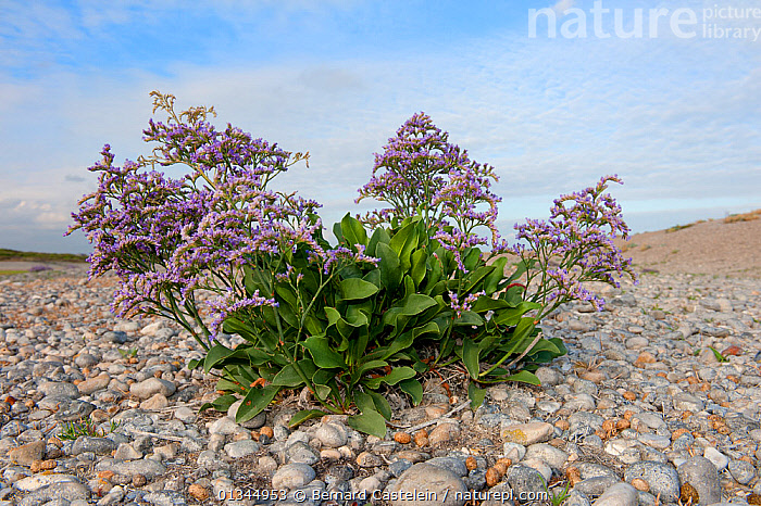 Sea Lavender (Limonium vulgare) growing on shingle, Cote d'Opale, France, July.  ,  COASTS,DICOTYLEDONS,EUROPE,FLOWERS,FRANCE,PLANTS,PLUMBAGINACEAE  ,  Bernard Castelein