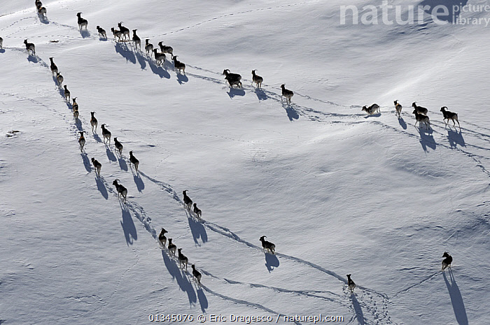 A large herd of Tien Shan Argali (Ovis ammon karelini) making tracks through snow. Naryn National Park, Kyrgyzstan, Central Asia, November.  ,  AERIALS,Argali,ARTIODACTYLA,ASIA,BOVIDS,catalogue4,central asia,central asia,CIS,elevated view,Following,GROUPS,herd,high angle shots,Imprint,Kyrgyzstan,LANDSCAPES,large group of animals,large groups,making tracks,MAMMALS,MIGRATION,Naryn National Park,Nobody,NP,on the move,PATTERNS,safety in numbers,SHEEP,SNOW,VERTEBRATES,view from above,WILDLIFE,WINTER,National Park  ,  Eric Dragesco