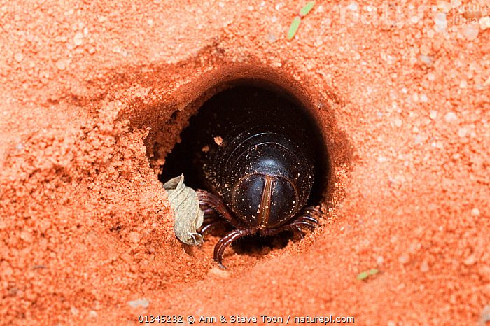Giant millipede (Archispirostreptus gigas) emerging from hole, Kgalagadi Transfrontier Park, Northern Cape, South Africa, January, AFRICA, burrow, Diplopoda, HOMES, INVERTEBRATES, MILLIPEDES, RESERVE, SOUTH-AFRICA, SOUTHERN-AFRICA, SPIROSTREPTIDAE, UNDERGROUND, Ann & Steve Toon