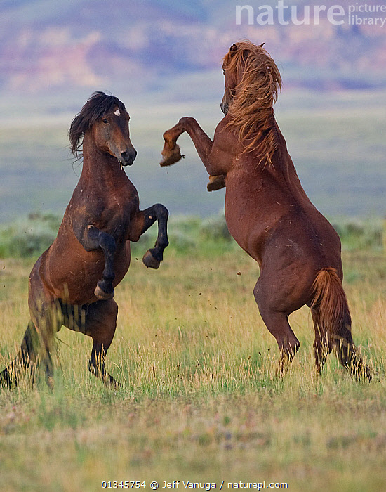 McCullough Peaks wild horses (Equus caballus) rearing up against each other. Cody, Wyoming, July., ACTION,AGGRESSION,BEHAVIOUR,FERAL,FIGHTING,HORSES,MALES,MAMMALS,MOVEMENT,NORTH AMERICA,PERISSODACTYLA,TWO,USA,VERTEBRATES,VERTICAL,WYOMING, Jeff Vanuga