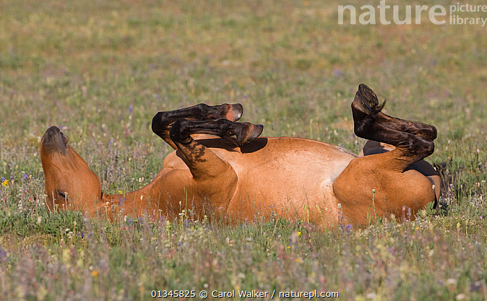 Wild horse / mustang, mare rolling, Pryor Mountains, Montana, USA, July  ,  animals in the wild,BEHAVIOUR,BROWN,catalogue4,close up,concepts,contentment,ENJOYMENT,female animal,FEMALES,feral,Field,GROOMING,GROUPS,happy,Horse,HORSES,lying on back,mare,meadow,montana,mustang,mustangs,Nobody,one animal,Pryor Mountains,rolling,USA,Wild,wild horse,North America  ,  Carol Walker