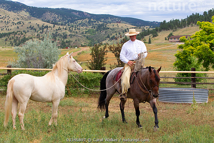 Young male cremello Wild horse / mustang Cremosso that had been rounded up from a McCullough Peak herd and put up for adoption, mounted trainer Rich Scott teaching it to be led in paddock, August 2010, model released  ,  adoption,colts,Cremellos,DOMESTIC HORSE ,Horse,HORSES,LANDSCAPES,MAN,mustang,mustangs,outdoors,PEOPLE,REHABILITATION,riding,training,USA,Wild,North America  ,  Carol Walker