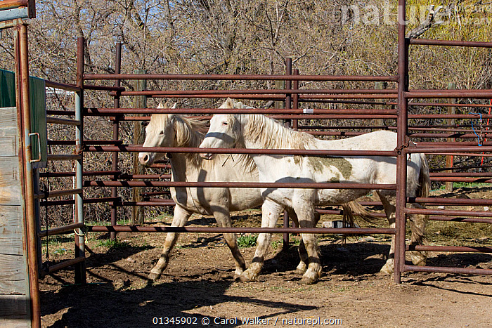 Two young male cremello Wild horses / mustangs Claro and Cremosso that had been rounded up from a McCullough Peak herd and put up for adoption, waiting to be transported to new home, April 2010  ,  adoption,BLM,colts,Cremellos,herd,Horse,HORSES,McCullough,mustang,mustangs,peaks,REHABILITATION,training,two,USA,Wild,wyoming,North America  ,  Carol Walker