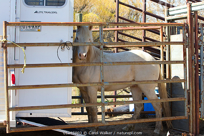 Young male cremello Wild horse / mustang Cremosso that had been rounded up from a McCullough Peak herd and put up for adoption, being transported to new home, April 2010  ,  adoption,BLM,colts,Cremellos,herd,Horse,HORSES,McCullough,mustang,mustangs,peaks,PEOPLE,REHABILITATION,training,Transport,USA,VEHICLES,Wild,wyoming,North America  ,  Carol Walker