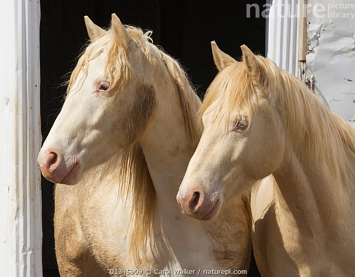 Two young male cremello Wild horses / mustangs Claro and Cremosso that had been rounded up from a McCullough Peak herd and put up for adoption, in yard, May 2010  ,  adoption,Colts,Cremellos,herd,Horse,HORSES,McCullough,mustang,mustangs,peaks,PORTRAITS,REHABILITATION,training,two,USA,Wild,North America  ,  Carol Walker