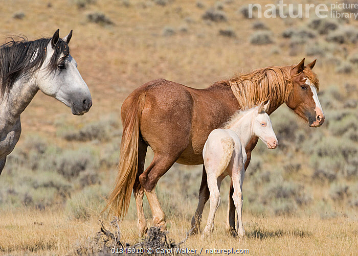 Mustangs / wild horses, cremello colt Claro with mare, McCullough Peaks herd, Wyoming, USA, August 2007  ,  adoption,BABIES,colt,colts,feral,foal,Horse,HORSES,MALES,MOTHER BABY,mustang,mustangs,USA,Wild,YOUNG,North America  ,  Carol Walker