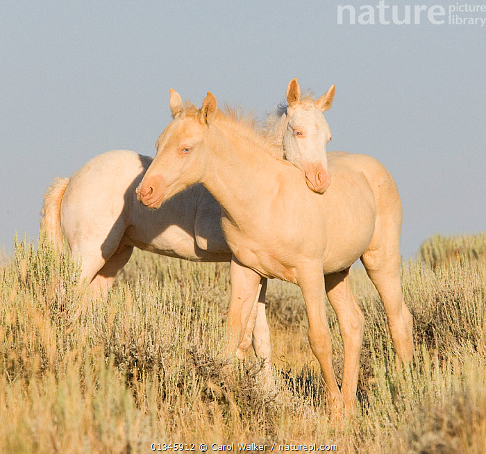 Mustangs / wild horses, two cremello colts Claro and Cremosso interacting, one resting head on the other, McCullough Peaks herd, Wyoming, USA, August 2007  ,  adoption,colt,colts,CUTE,feral,foal,Foals,Horse,HORSES,INTERACTION,JUVENILE,MALES,mustang,mustangs,two,USA,WHITE,Wild,YOUNG,North America  ,  Carol Walker