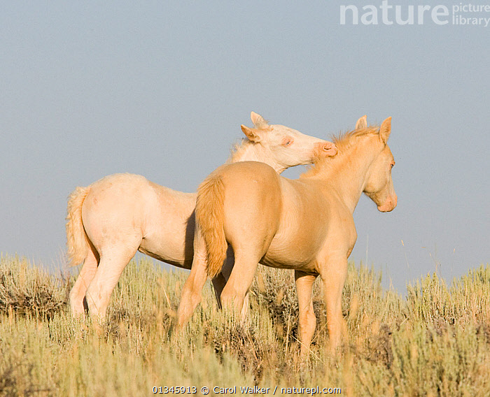 Mustangs / wild horses, two cremello colts Claro and Cremosso interacting, mutual grooming, McCullough Peaks herd, Wyoming, USA, August 2007  ,  adoption,BEHAVIOUR,colt,colts,feral,foal,Foals,GROOMING,Horse,HORSES,INTERACTION,MALES,mustang,mustangs,two,USA,Wild,YOUNG,North America  ,  Carol Walker