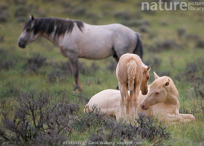 Mustangs / wild horses, cremello colt Cremosso and foal interacting, McCullough Peaks herd, Wyoming, USA, June 2009  ,  adoption,colt,colts,feral,foal,Horse,HORSES,INTERACTION,MALES,mustang,mustangs,two,USA,Wild,YOUNG,North America  ,  Carol Walker