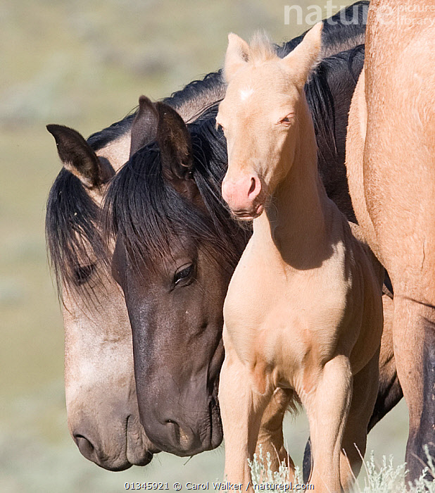 Mustangs / wild horses, cremello foal Cremosso surrounded by mares, McCullough Peaks herd, Wyoming, USA, June 2007  ,  adoption,colt,FAMILIES,FEMALES,foal,GROUPS,Horse,HORSES,MALES,mustang,mustangs,USA,Wild,YOUNG,North America  ,  Carol Walker