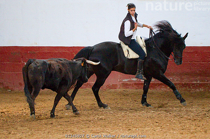 Spanish / Andalusian horse performing Alta Escuela moves, working with a bull, Andalucia, Spain, model released  ,  ANDALUCIA,ANDALUSIANS,BLACK,BULL,BULLFIGHT,BULLFIGHTING,EUROPE,HORSE,HORSES,LIVESTOCK,PEOPLE,RIDING,SPAIN,TRADITIONAL,WOMAN,WORKING,Equines ,HORSES,PERISSODACTYLA,VERTEBRATES,MAMMALS  ,  Carol Walker