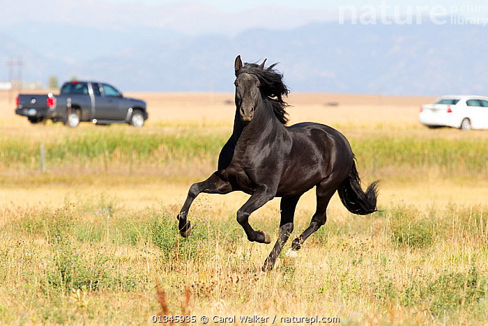Andalusian / Spanish horse running, with vehicles in background, Mira vista ranch, Longmont, Colorado,  USA September 2010  ,  ANDALUSIANS,BLACK,CARS,GALLOPING,HORSE,HORSES,MOVEMENT,RUNNING,USA,VEHICLES,North America,Equines ,HORSES,PERISSODACTYLA,VERTEBRATES,MAMMALS  ,  Carol Walker