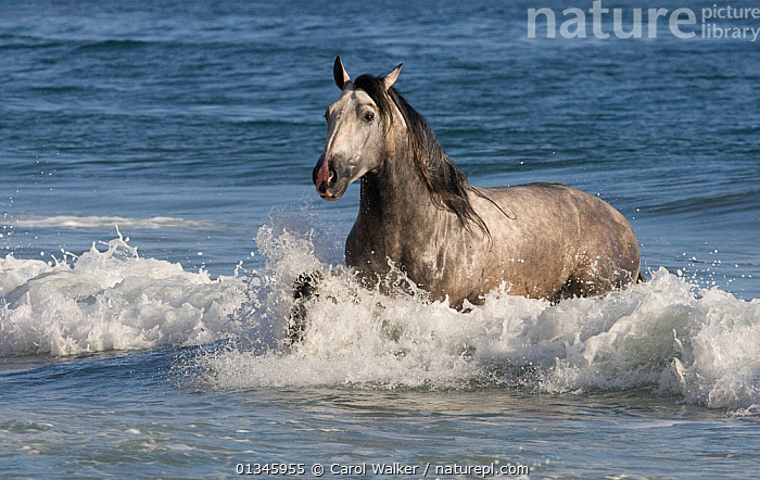 Grey Andalusian stallion running through waves on the beach, USA  ,  ANDALUSIAN,BEACH,BEACHES,COASTS,GREY,HORSE,HORSES,MALES,MOVEMENT,OCEAN,RUNNING,SEA,SPLASHING,STALLION,SURF,USA,WATER,WAVES,North America,Equines ,HORSES,PERISSODACTYLA,VERTEBRATES,MAMMALS  ,  Carol Walker