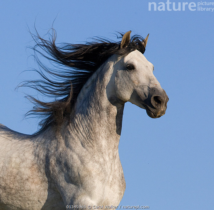 Grey Andalusian / Spanish stallion running, California, USA  ,  ACTION,Andalusian,animal head,ble sky,blue sky,California,catalogue4,clear sky,close up,CUTOUT,grey,grey colour,HEADS,Horse,HORSES,male animal,MALES,mane,Nobody,on the move,one animal,pasture,PORTRAITS,RUNNING,side view,SKY,Spanish,SPEED,stallion,USA,North America,Equines ,HORSES,PERISSODACTYLA,VERTEBRATES,MAMMALS  ,  Carol Walker