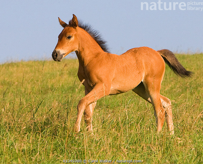 Quarter horse foal, Double Diamond ranch, Nebraska, USA  ,  BABIES,BAY,BROWN,CUTE,FOALS,HORSE,HORSES,PORTRAITS,SORREL,USA,North America,Equines ,HORSES,PERISSODACTYLA,VERTEBRATES,MAMMALS  ,  Carol Walker