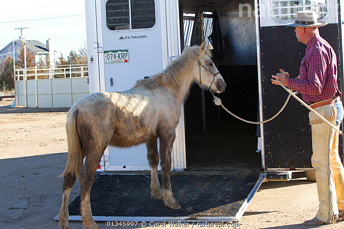 Grey Mustang / Wild horse colt foal Mica, rounded up from the Adobe Town herd, Wyoming, and adopted by the photographer, being led into trailer by trainer Rich Scott, Colorado, USA, February 2011, model released  ,  adoption,colt,foal,Horse,HORSES,MAN,mustang,mustangs,PEOPLE,REHABILITATION,training,USA,VEHICLES,North America  ,  Carol Walker
