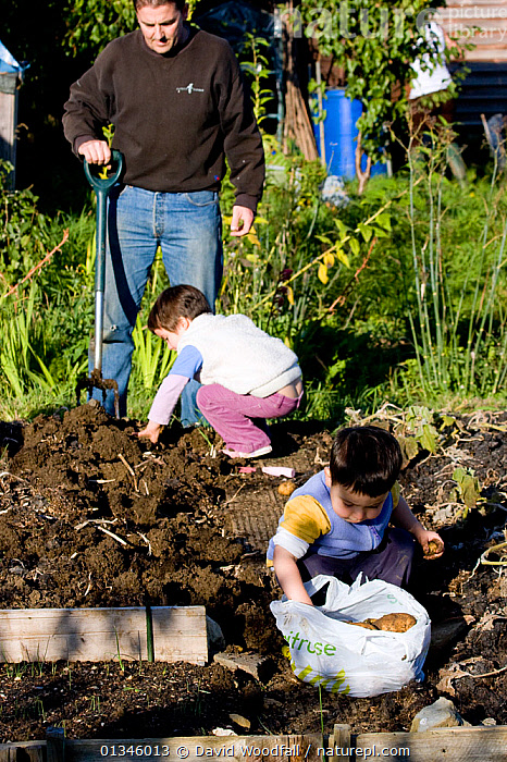 Children and father harvesting potatoes in Horfield community orchard / allotments run by and with local people as a food source and a source of regeneration within inner city Bristol. UK. MRDELETE  ,  ALLOTMENTS,BRISTOL,CHILDREN,CULTIVATION,EDUCATION,EUROPE,FOOD,GARDENING,GARDENS,OUTDOORS,PEOPLE,TEACHING,UK,URBAN,VERTICAL,United Kingdom  ,  David Woodfall