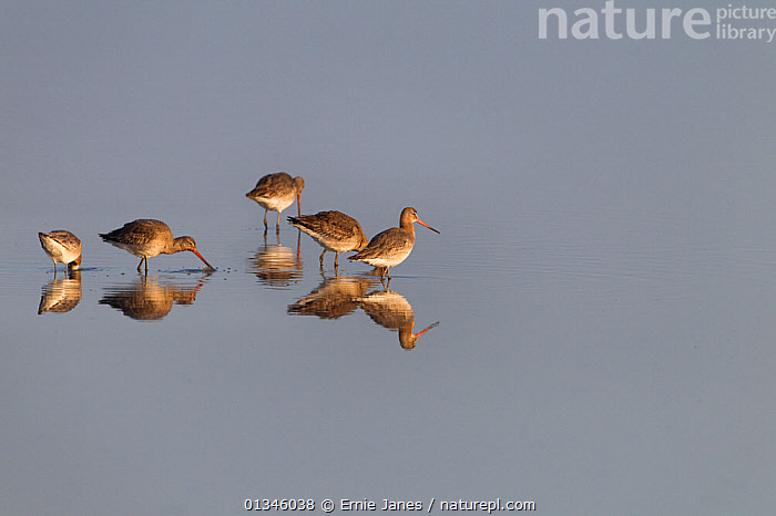 Black-tailed Godwits (Limosa limosa) foraging in water. Norfolk, UK, April.  ,  BEHAVIOUR,BIRDS,COPYSPACE,EUROPE,FORAGING,GODWITS,GROUPS,REFLECTIONS,SCOLOPACIDAE,UK,VERTEBRATES,WADERS,WATER,United Kingdom  ,  Ernie Janes