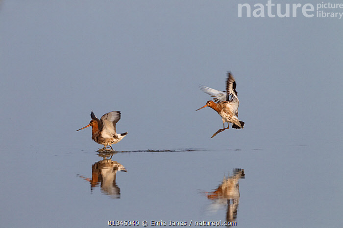 Black-tailed Godwit (Limosa limosa) coming in to land. Norfolk, UK, April.  ,  BIRDS,EUROPE,FLYING,GODWITS,REFLECTIONS,SCOLOPACIDAE,TWO,UK,VERTEBRATES,WADERS,WATER,United Kingdom  ,  Ernie Janes