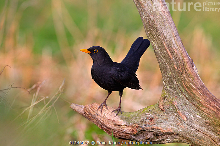 Blackbird (Turdus merula) male perching on branch.  UK, March.  ,  BIRDS,EUROPE,MALES,SONGBIRDS,THRUSHES,TURDIDAE,UK,VERTEBRATES,United Kingdom  ,  Ernie Janes