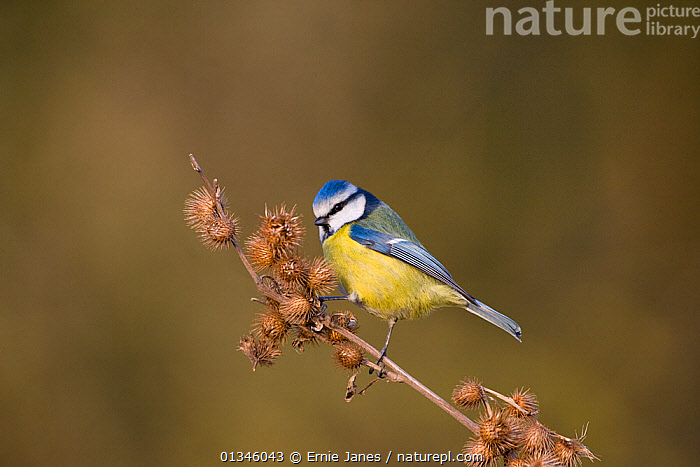 Blue Tit (Parus caeruleus) perching on burdock stem. UK, January.  ,  BIRDS,EUROPE,PARIDAE,SONGBIRDS,TITS,UK,VERTEBRATES,United Kingdom  ,  Ernie Janes