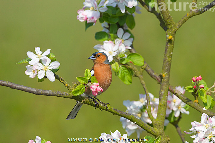 RF- Chaffinch (Fringilla coelebs) male perching by apple bossom. UK, April. (This image may be licensed either as rights managed or royalty free.)  ,  BIRDS,EUROPE,FINCHES,MALES,UK,VERTEBRATES,FRINGILLA COELEBS,Animal,Vertebrate,Bird,Birds,Songbird,True finch,Common chaffinch,Animalia,Animal,Wildlife,Vertebrate,Aves,Bird,Birds,Passeriformes,Songbird,Passerine,Fringillidae,True finch,Finch,Fringilla,Fringilla coelebs,Common chaffinch,Eurasian chaffinch,Alertness,Nobody,Coloured Background,Green Background,Male Animal,Plant,Branch,Branches,Flower,Blossom,Apple Blossom,Apple Blossoms,Outdoors,Spring,Perching,RF,Royalty free,RFCAT1,RF17Q1,  ,  Ernie  Janes
