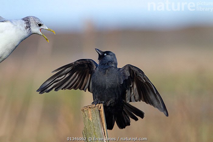 Jackdaw (Corvus monedula) being attacked by Common Gull (Larus canus) (winter plumage). UK, March.  ,  ACTION,AGGRESSION,BIRDS,BLACK,CORVIDS,CROWS,FIGHTING,GULLS,MIXED SPECIES,TWO,VERTEBRATES  ,  Ernie Janes