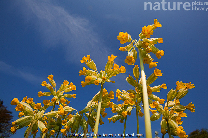 Cowslips (Primula veris) seen from a low angle. Norfolk, UK, April.  ,  DICOTYLEDONS,FLOWERS,LOW ANGLE SHOTS,PLANTS,PRIMULACEAE,SPRING,YELLOW,Europe,United Kingdom  ,  Ernie Janes