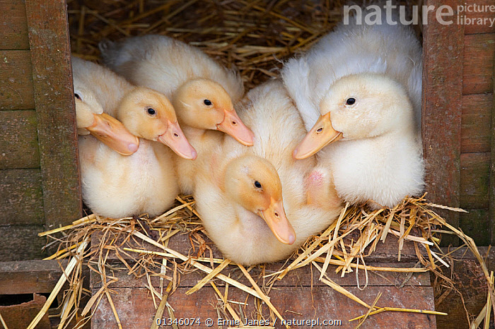 Ducklings (Anas platyrhynchos) resting in poultry house on straw bedding. UK, April.  ,  BABIES,BIRDS,CHICKS,DUCK,DUCKLINGS,DUCKS,EASTER,POULTRY,VERTEBRATES,WATERFOWL  ,  Ernie Janes