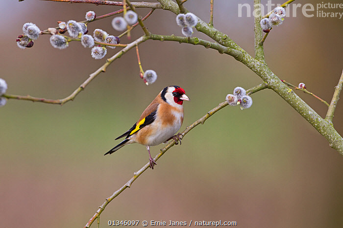 Goldfinch (Carduelis carduelis) perching on willow tree in spring. UK, April.  ,  BIRDS,EUROPE,FINCHES,UK,VERTEBRATES,United Kingdom  ,  Ernie Janes